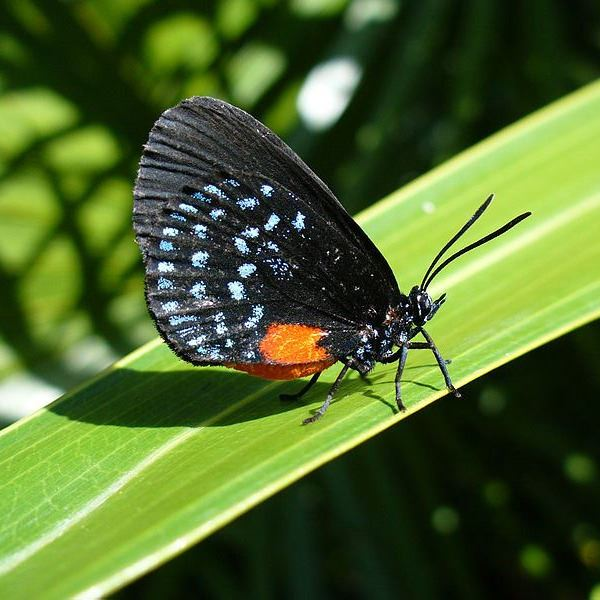 Atala Butterfly