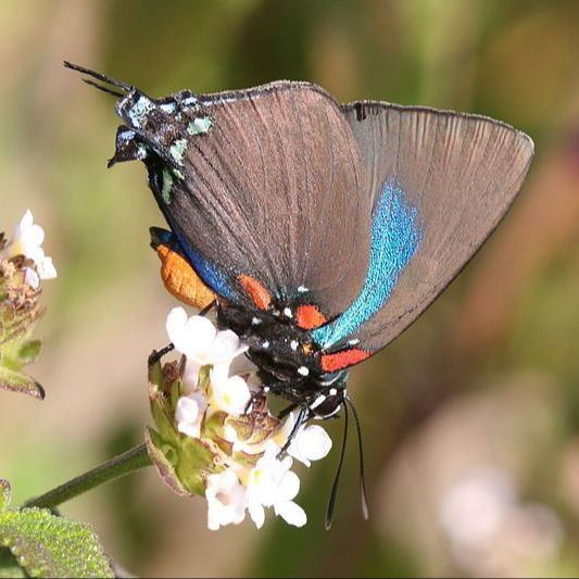 Great Purple Hairstreak Butterfly